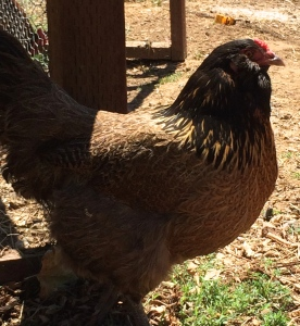 This is Ethel, our one Ameraucana.